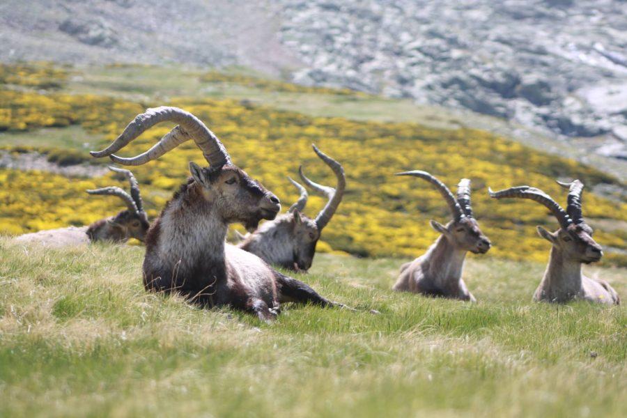 Gredos Spanish Ibex