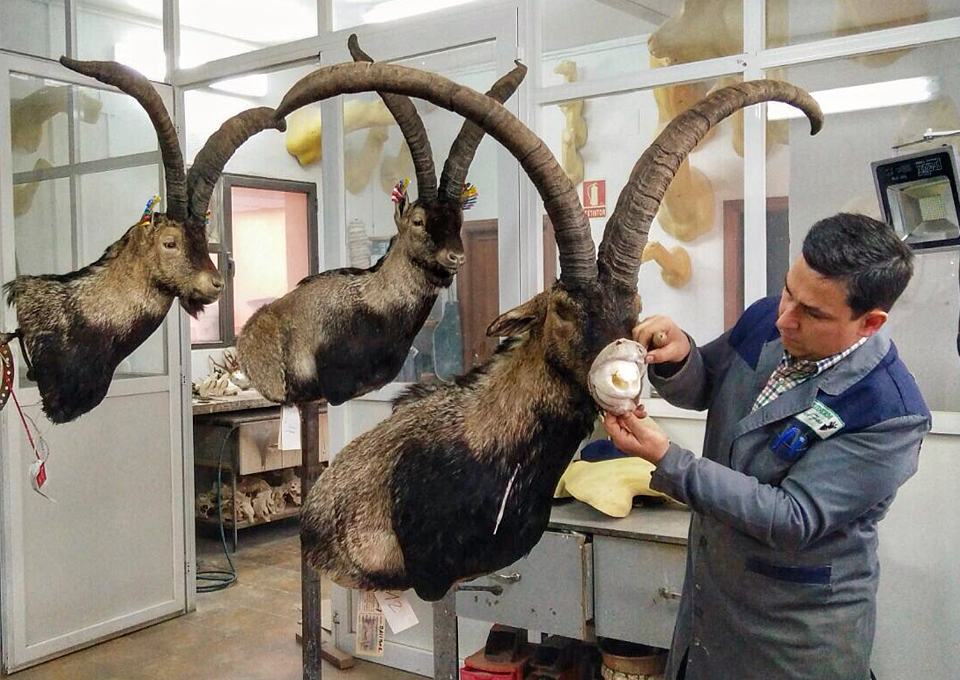 taxidermy_ibex-zone